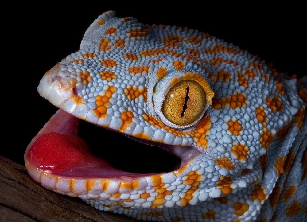 Pin On Geckos