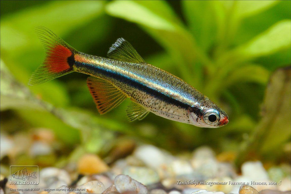 Tanichthys Albonubes White Cloud Mountain Minnow Fish Cloud Fish Cool Fish