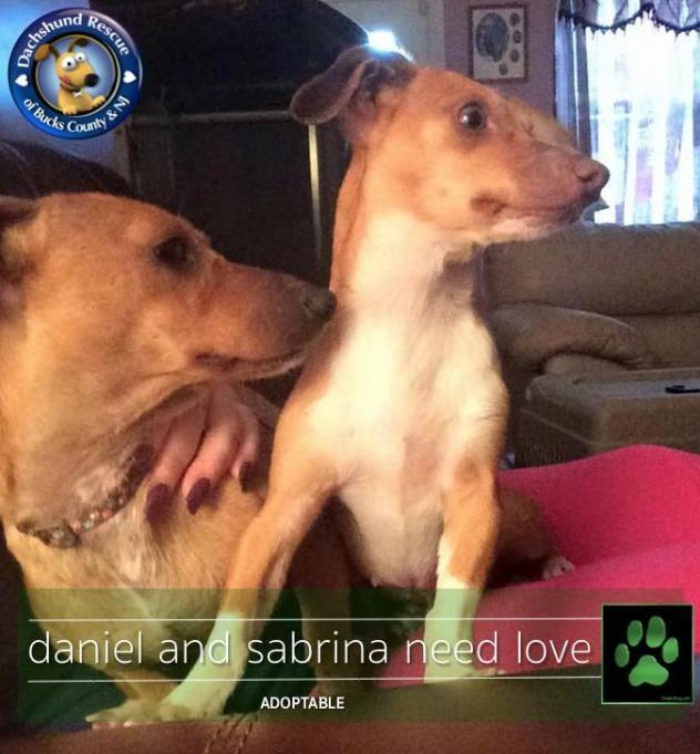 Adopt Daniel & Sabrina on Dachshund rescue, Dachshund