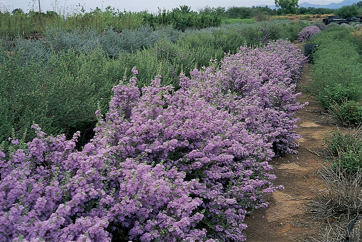 photos of low water and drought tolerant plants Botanical Name ...
