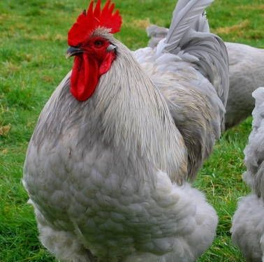 English Lavender Orpington Fancy Chickens Lavender Orpington Chickens Beautiful Chickens