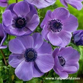 Mr Fokker Anemone Types Of Purple Flowers Bulb Flowers Planting Bulbs