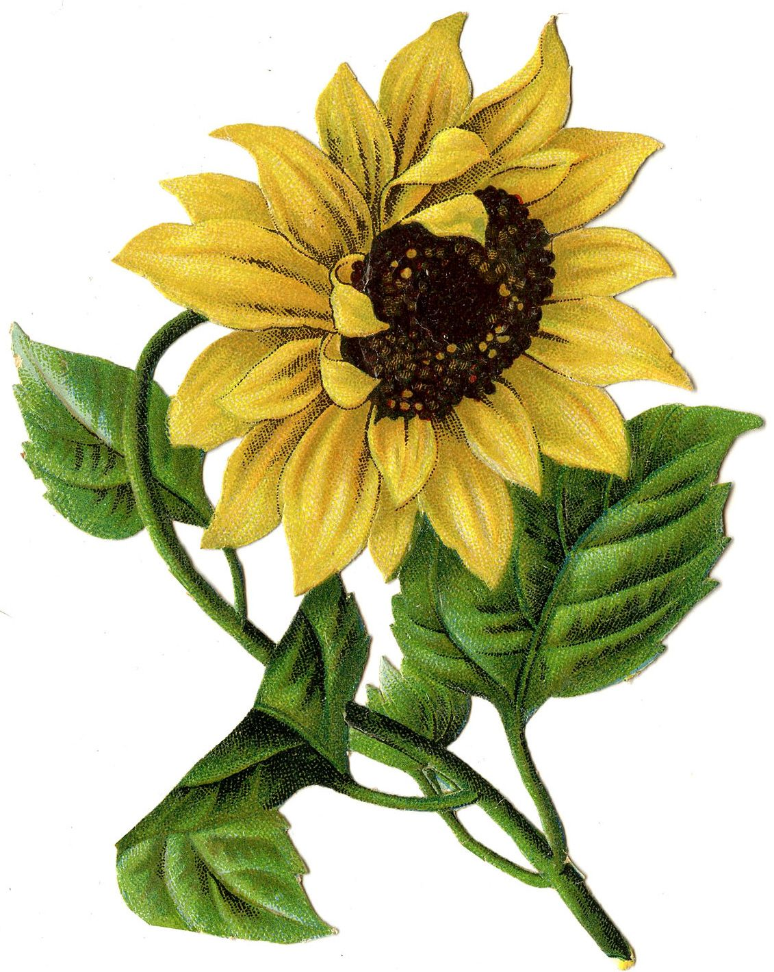 Beautiful Sunflowers Clipart Images http://clipart-free ...