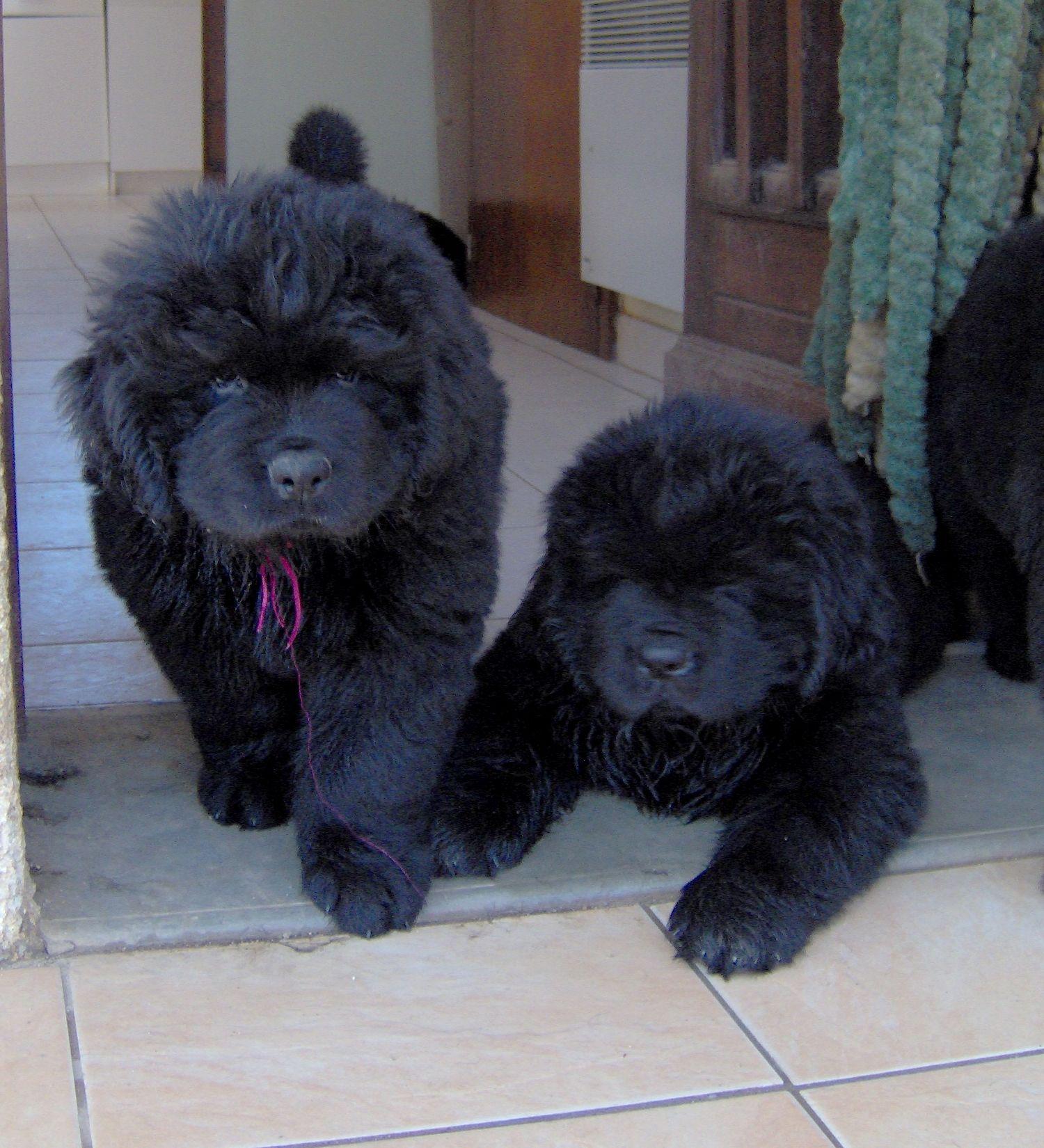 Chiots Terre Neuve Newfoundland Dog Newfoundland Dogs