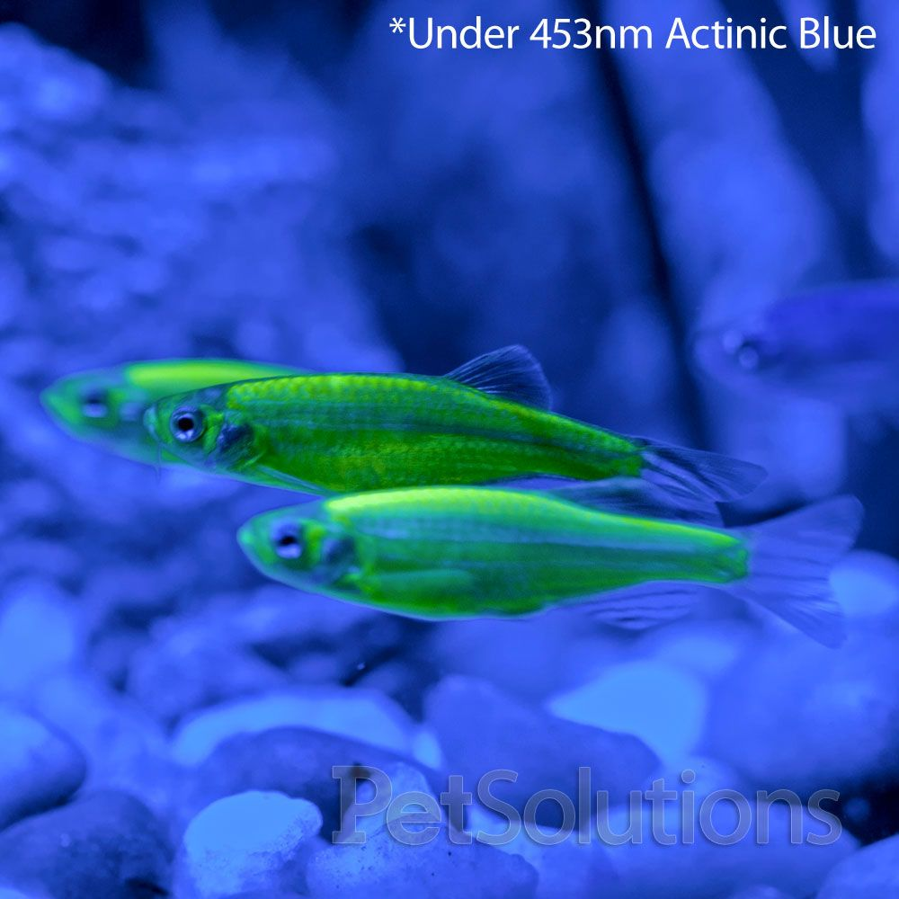 Electric Green® GloFish Barb | GloFish | Pinterest | Green and ...