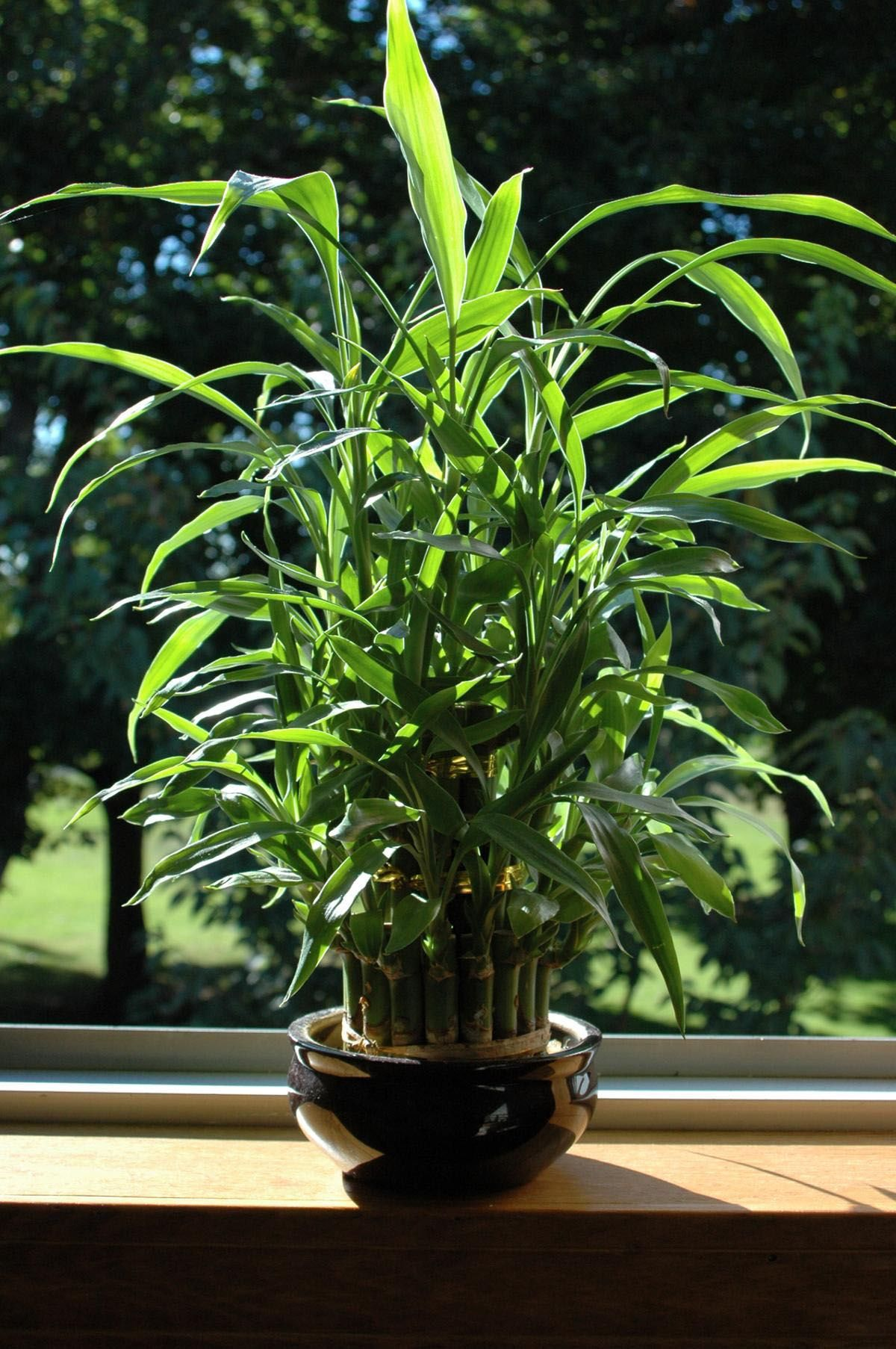10 Bamboo Landscaping Ideas Indoor bamboo plant, Bamboo