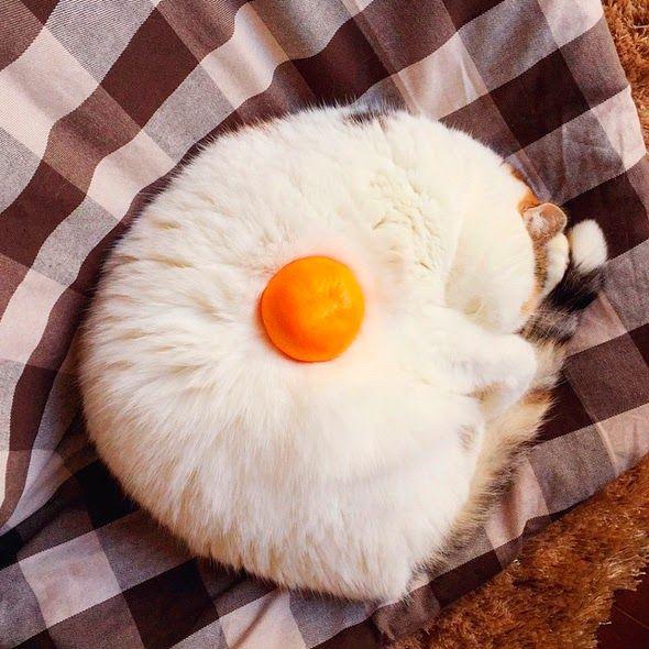 Gato con forma de huevo frito