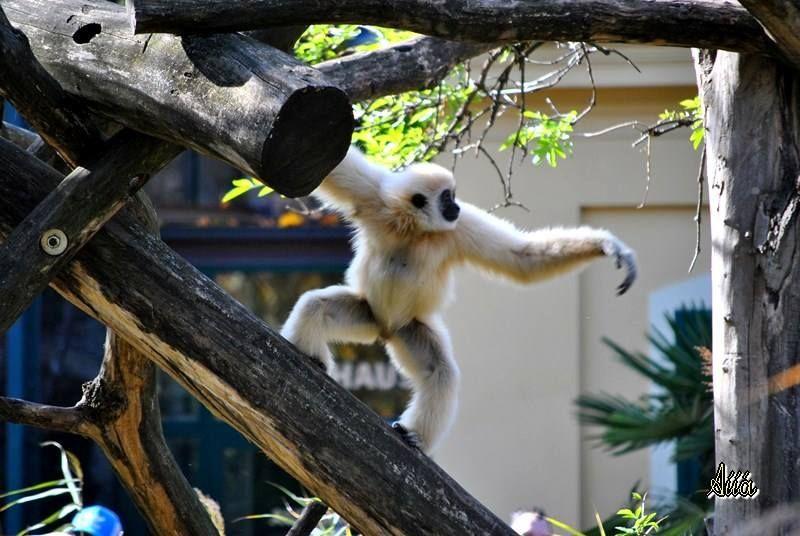 Lar gibbon, Zoo Vienna