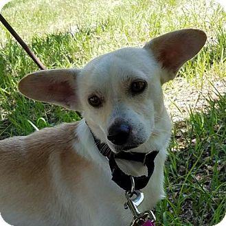 Bradenton Fl Corgi Chihuahua Mix Meet Howie A Dog For