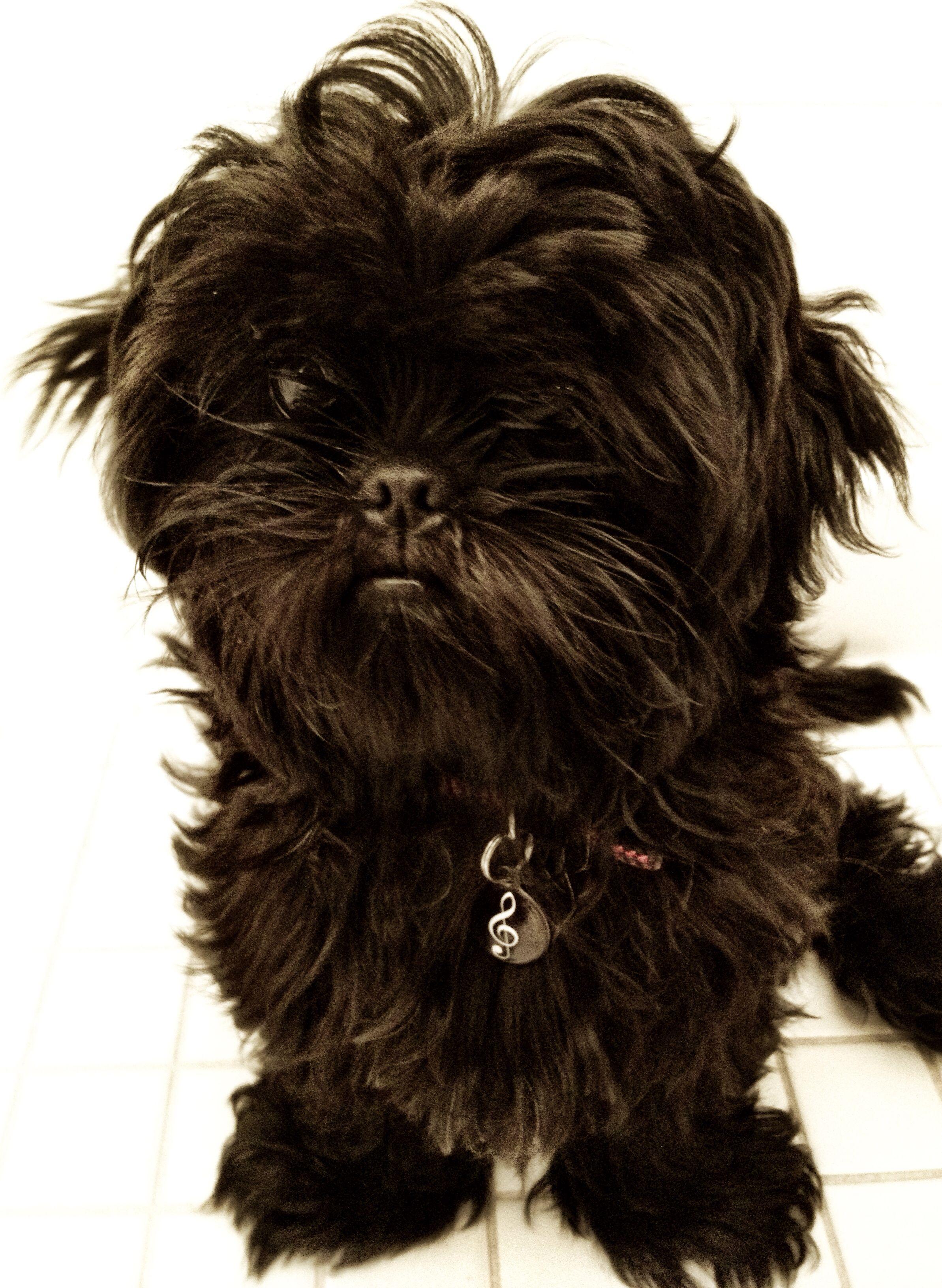 My Dog Rhythm She Is An All Black Shih Tzu Black Shih Tzu