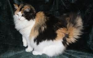 Calico Ragdoll Cat Kitten Pictures Calico Ragdoll Cats Tridanim Here Kitty Kitty Ragamuffin Cat Cats Cats Kittens