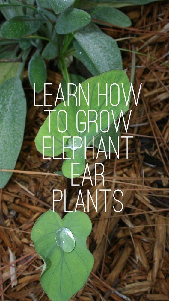 Growing Elephant Ear Plants #elephantearsandtropicals