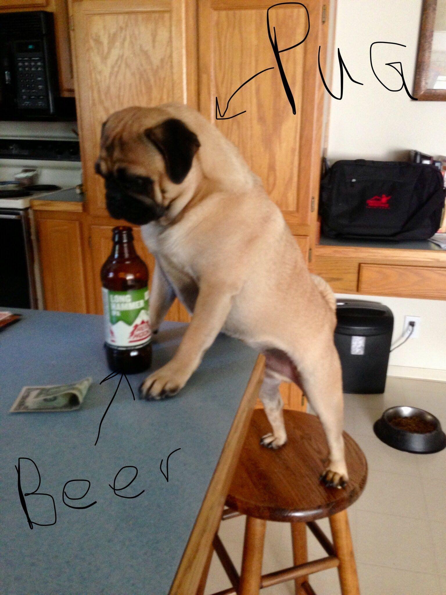 Pugs and beer Pugs, Puppies, Animals