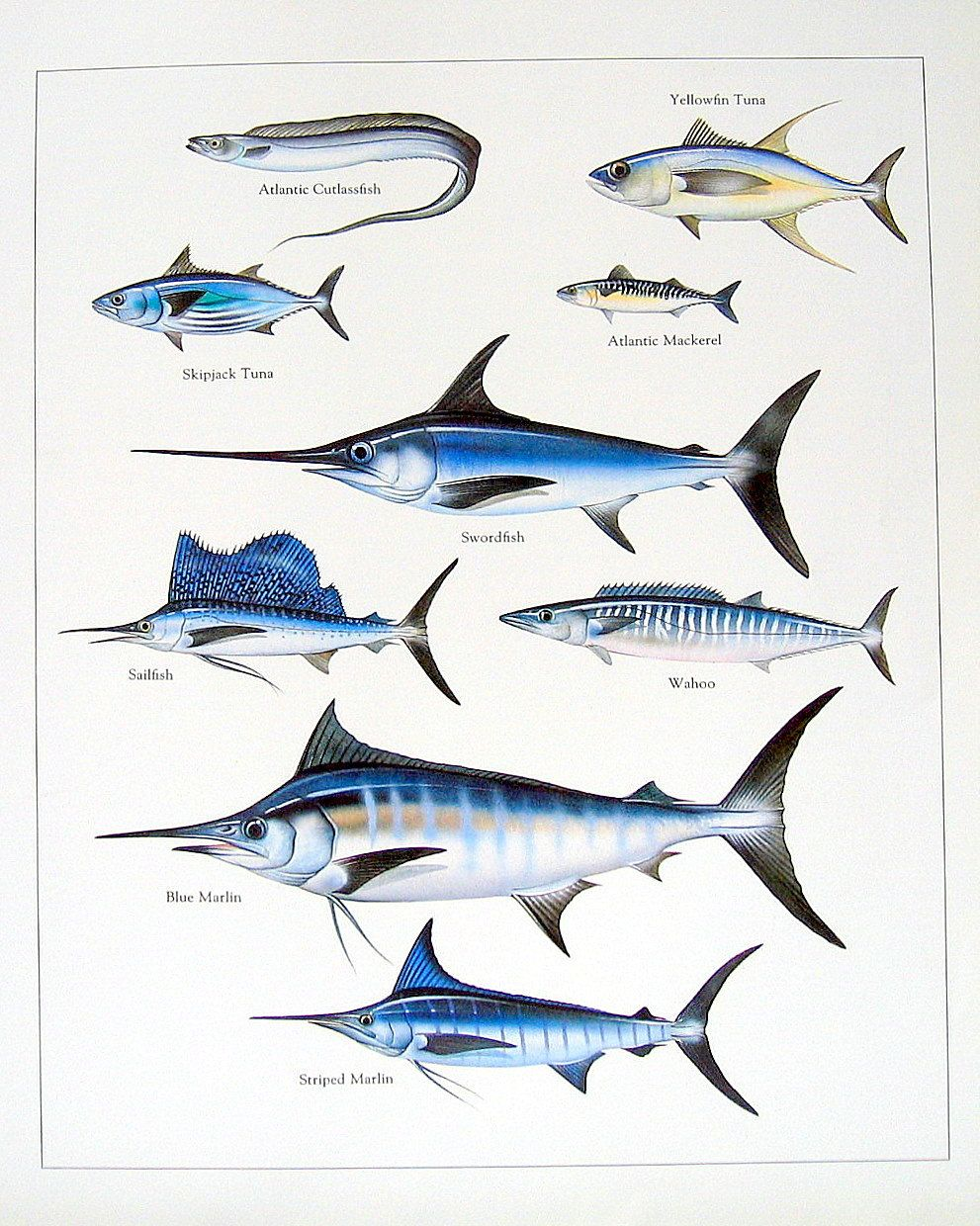 Atlantic Cutlassfish, Yellowfin Tuna, Swordfish Vintage 1984 Fish ...