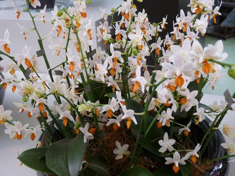 Орхидея мини марк фото