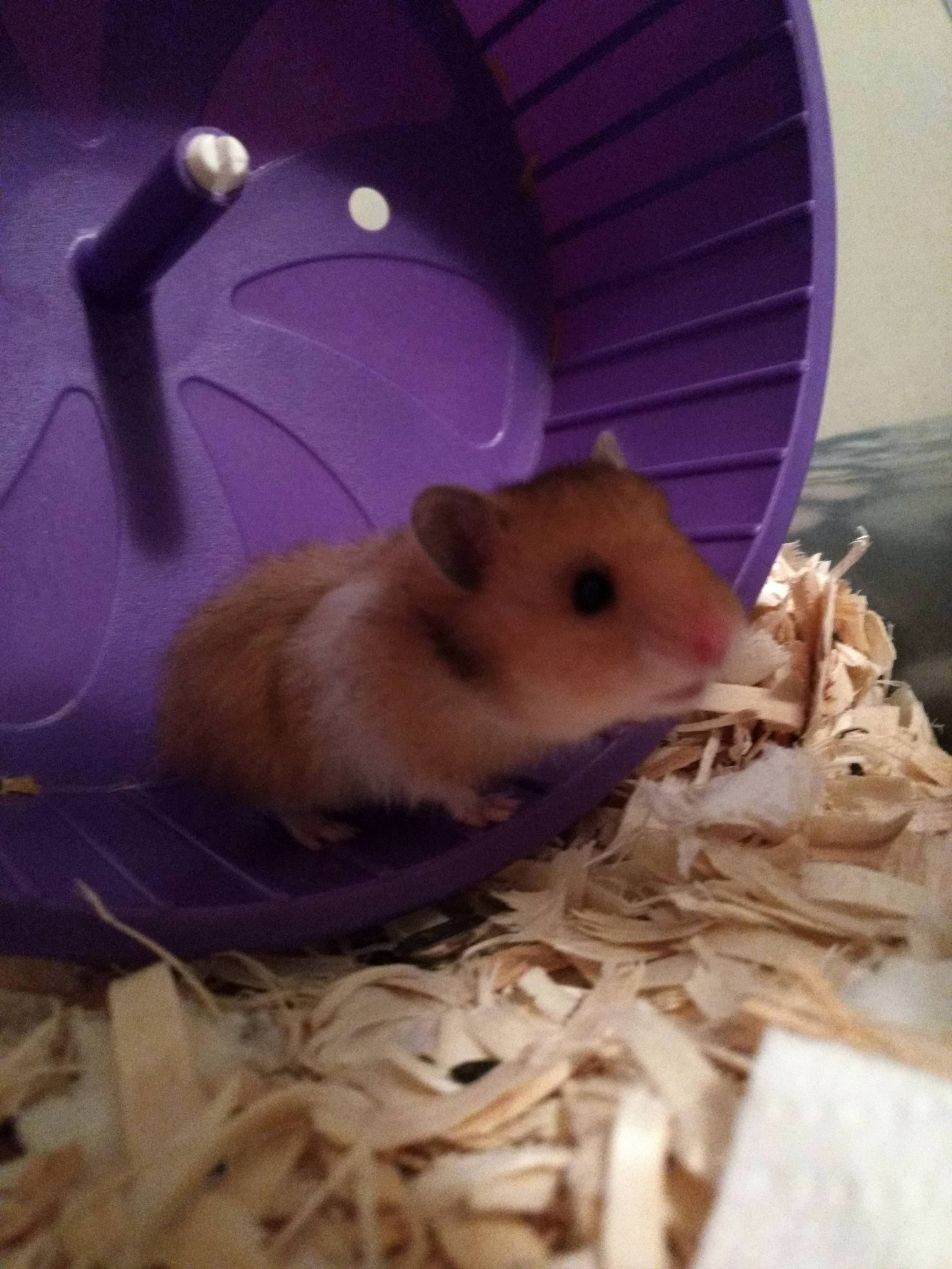 Time To Officially Introduce Ruthless Aka Baby Ruth Http Ift Tt 2eedh5y Cute Hamsters What Is Cute Hamster