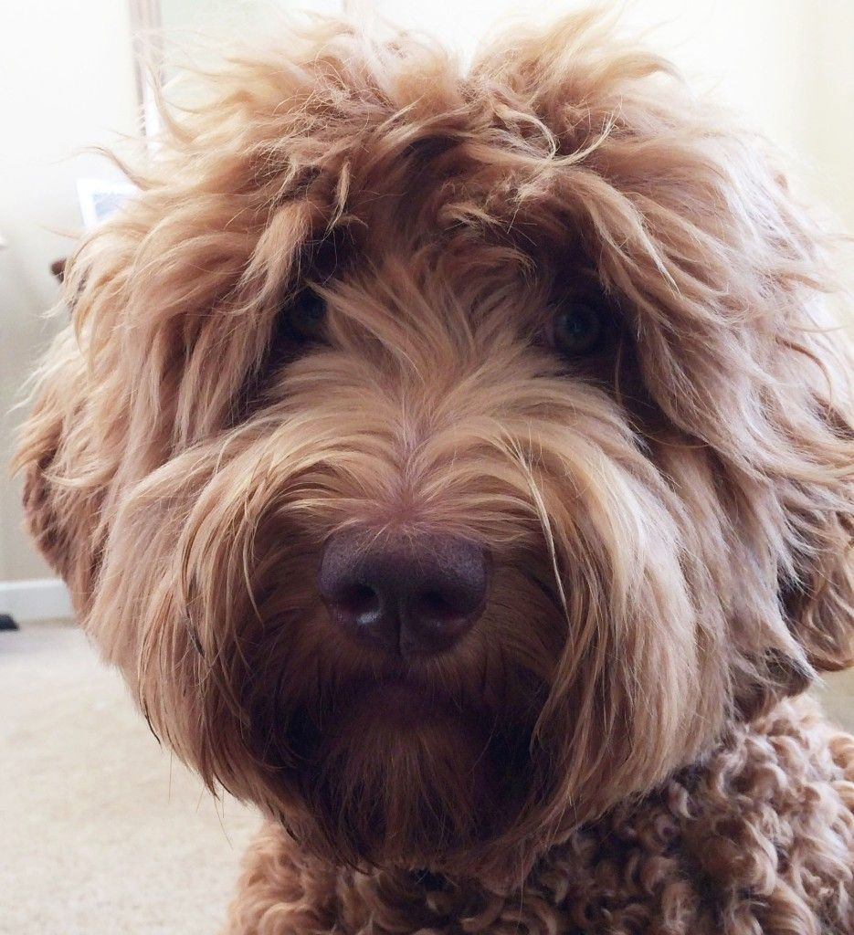 Ella Our Outstanding Red Standard Labradoodle Australian