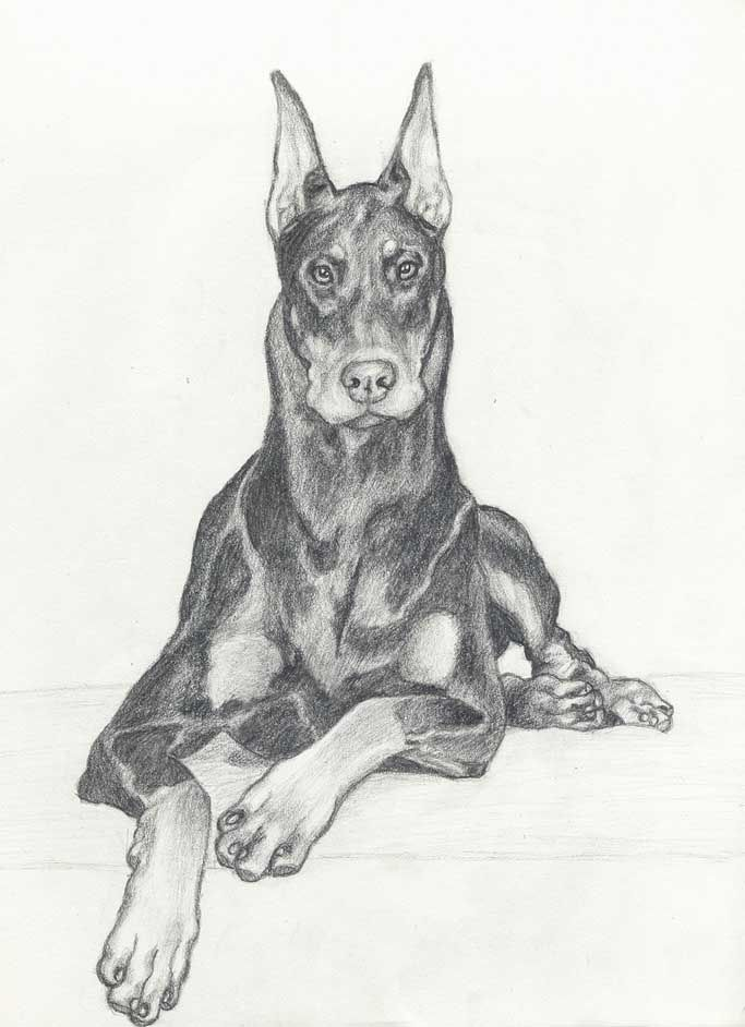 Image Result For Doberman Dog Drawing With Images Dog Drawing