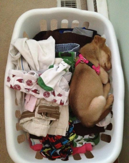 Found My Puppy Maya Sleeping In The Laundry Cute Animals Funny Animal Pictures Funny Dog Pictures