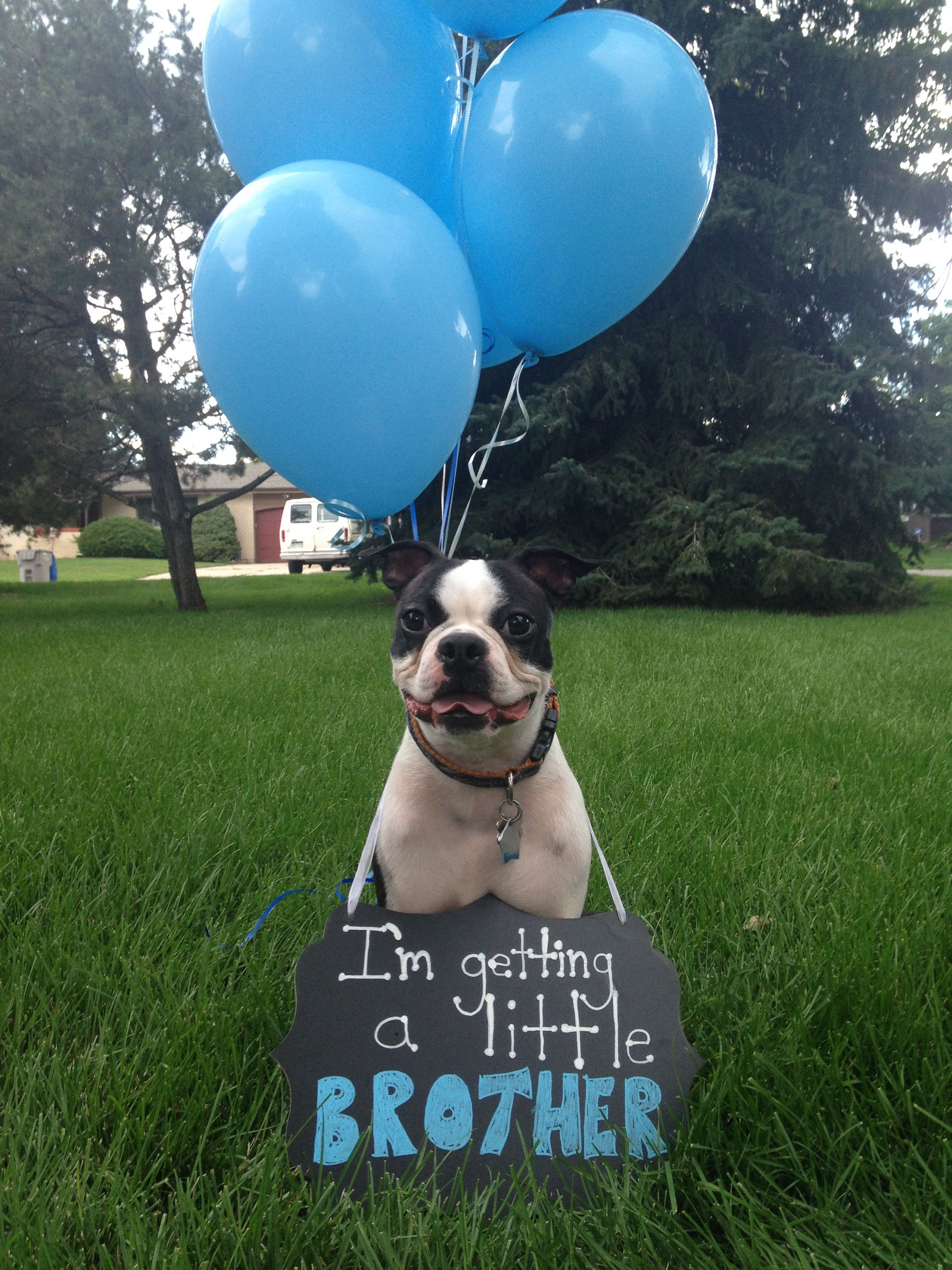 Gender Reveal With Dog At Ispydev I So Wanna Do This With Baxter
