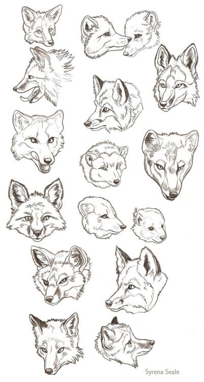 Red Fox or wolf anatomy guide - head and expression study - animal ...