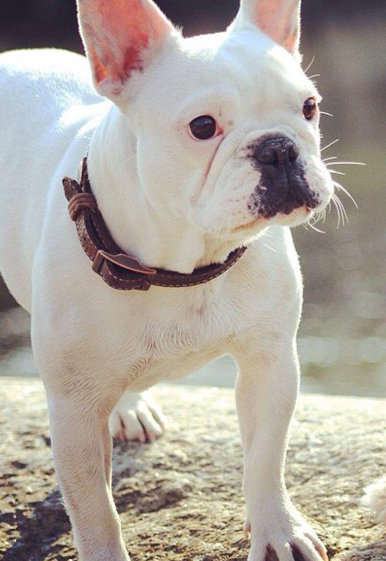 Pure White French Bulldog