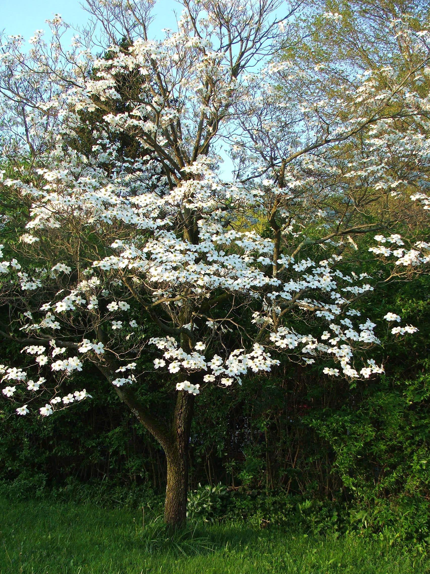 White Flowering Dogwood C2017 2 May Melanie Petridis Tree