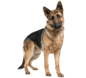 The German Shepherd Originated In The 18th 19th Cent In Germany And Was First Brought To The Us In 1906 They Are K German Shepherd Dogs Dogs German Shepherd