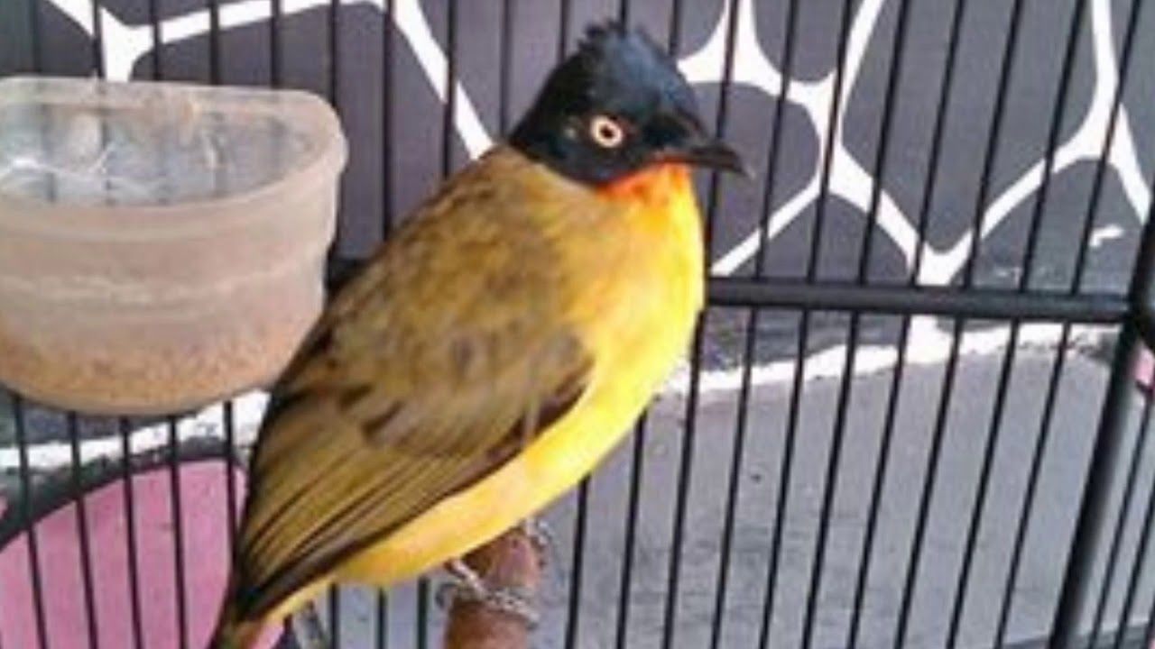 Cara Beternak Burung Kutilang Emas Burung Peternakan Sangkar