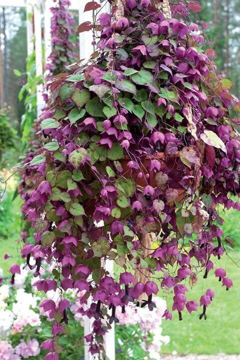 rhodochiton atrosanguineum garden pinterest gardens. Black Bedroom Furniture Sets. Home Design Ideas
