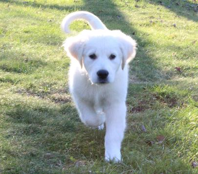 White Golden Retriever Puppies For Sale Pristine Puppies Pa In 2020 White Golden Retriever Puppy Golden Retriever Baby Golden Retriever