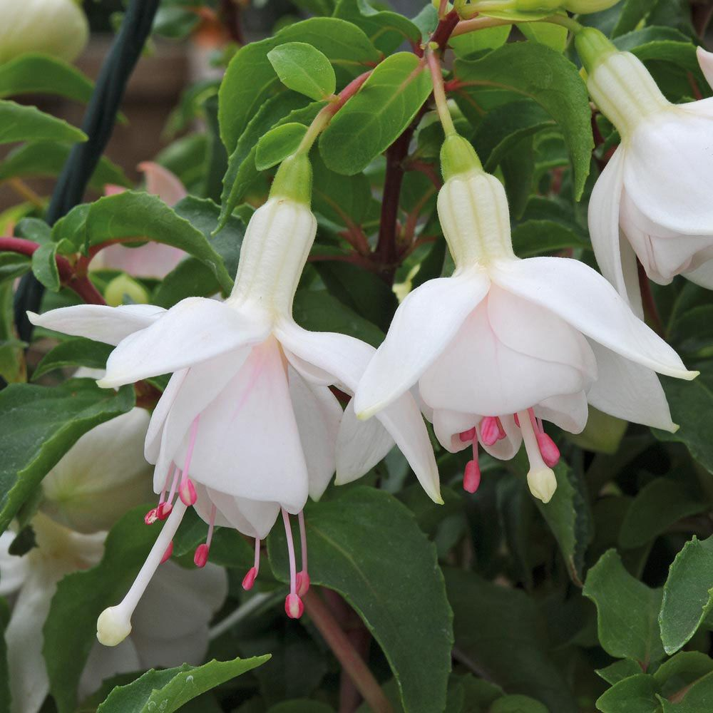 Fuchsia 'Buds of May White Gold' Perennial & Biennial