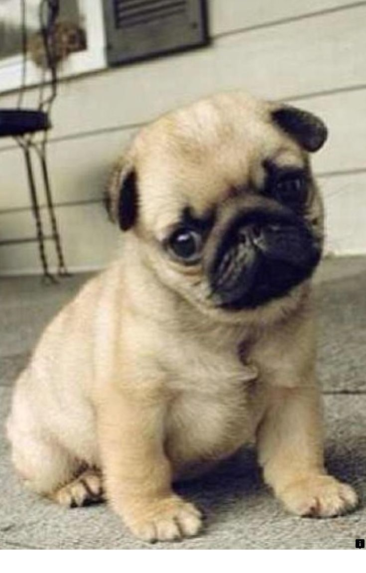 Learn more about cheap pugs for sale near me. Simply