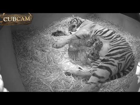 Rare Tiger Cubs Born At London Zoo Endangered Tigers Sumatran Tiger Animals