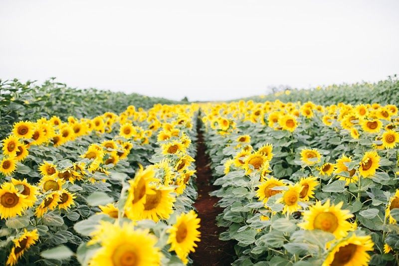 Kebun Bunga Matahari Puncak