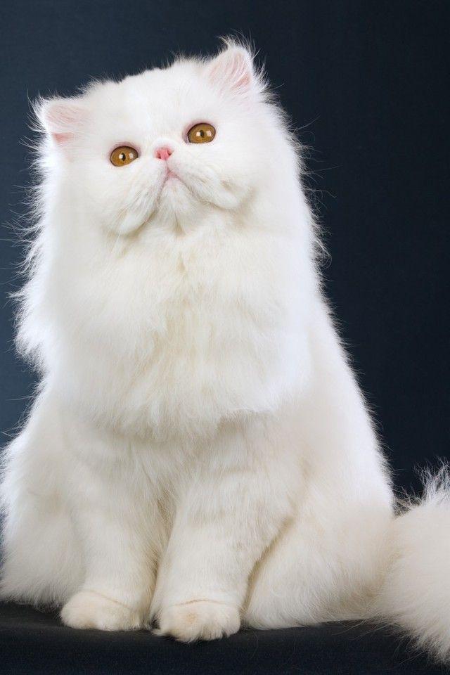 440 Koleksi Wallpaper Hp Kucing Gratis Terbaru