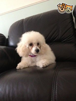 White Toy Poodle Girl London East London Pets4homes White Toy Poodle Poodle Toy Poodle