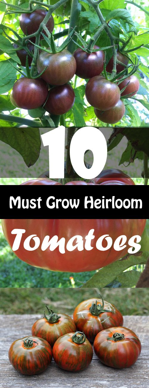 How To Grow Tomato Plant Growing And Harvesting Fresh 400 x 300