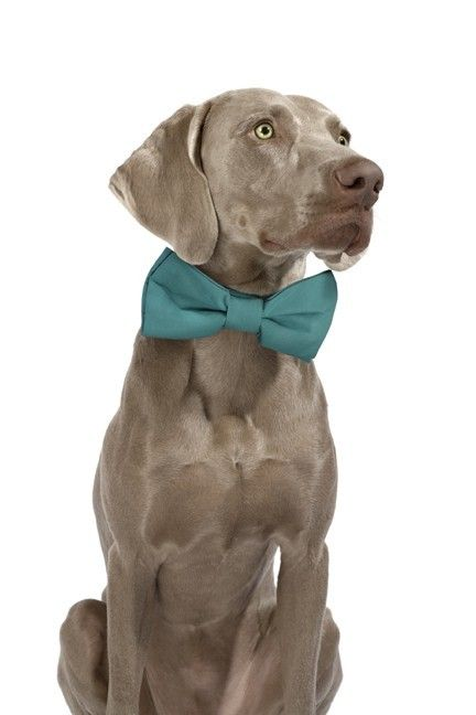 Tiger boy needs this for the big day... he would strut his stuff and look so handsome!