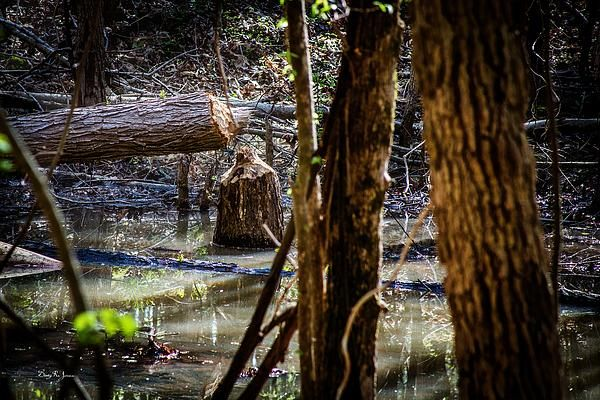A close look at this fallen tree shows the unmistakable work of Nature's Lumberjack, the Beaver.