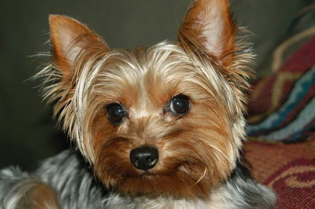 The Yorkshire Terrier ...