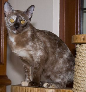Burmese Calico I Have One Burmese Cat Cats And Kittens Burmese Cats For Sale