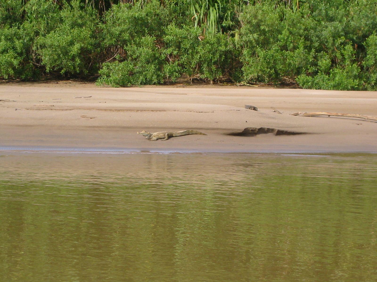 amazone alligator