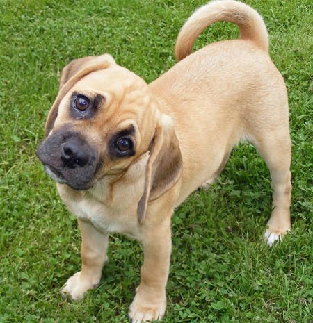 The Famous Puggle Head Tilt Child Friendly Dogs Pug Mix Puggle