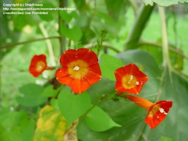 Scarlet Star Glory Orange Morning Glory Morning Glory Plants Orange