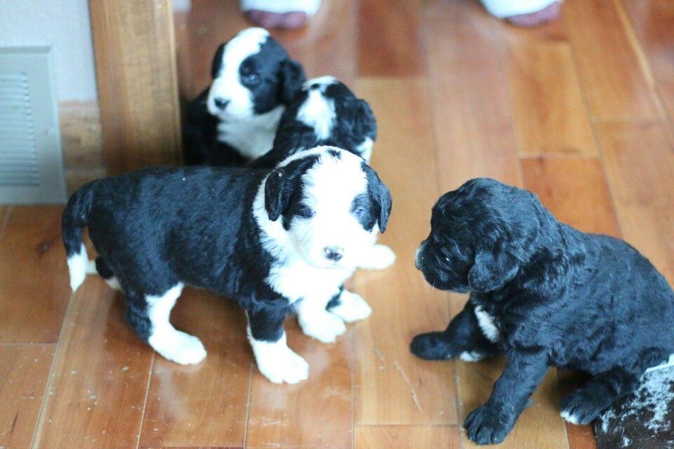 Bernedoodle puppies bernedoodle puppy puppies animals