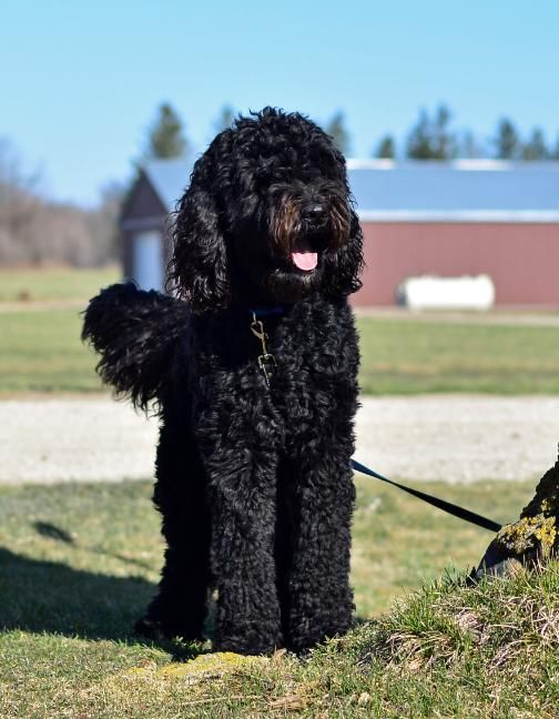 Trained Goldendoodles ...