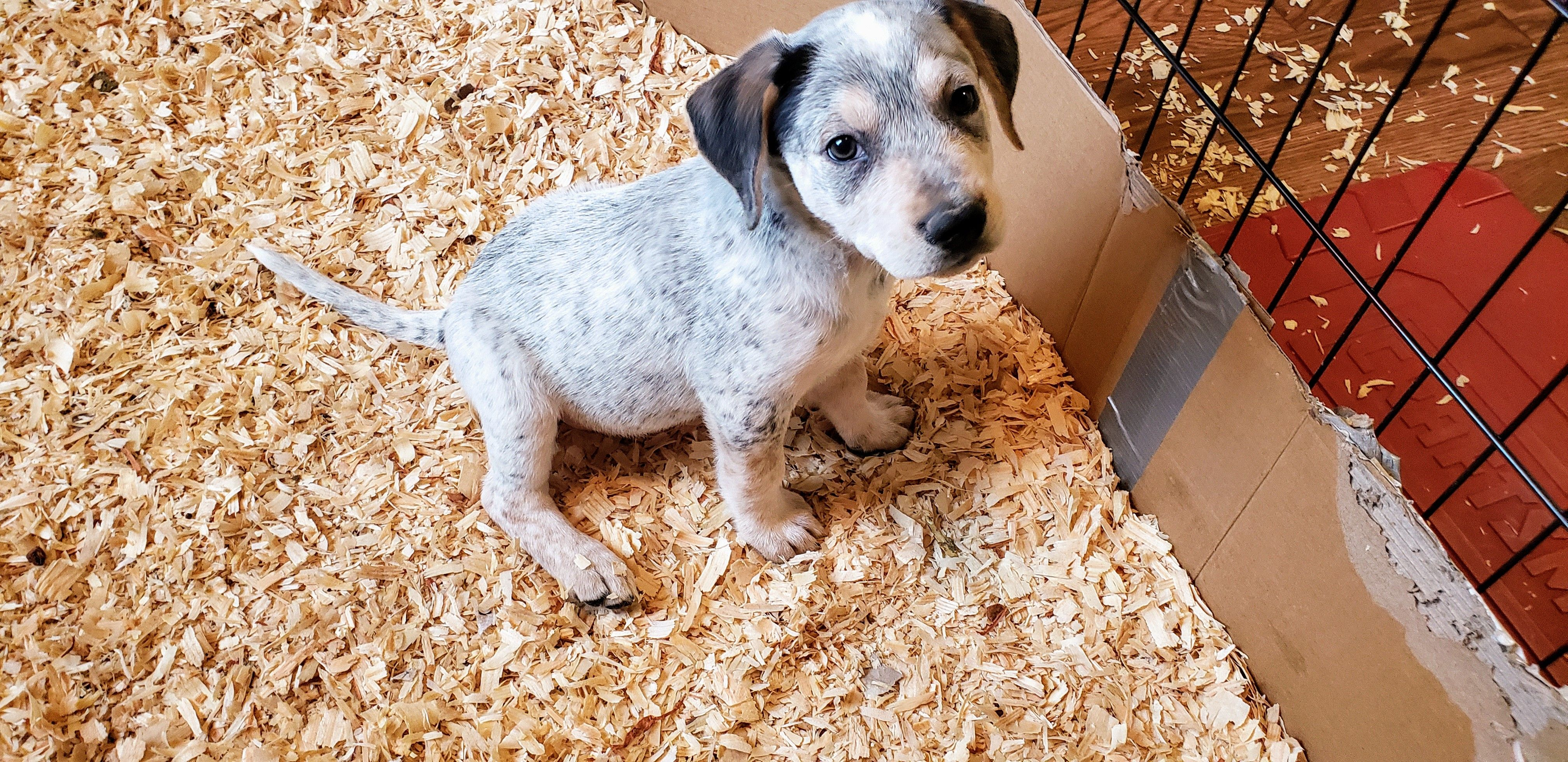 Buddha A Mixed Rottweiler And Blue Heeler Puppy For Sale In