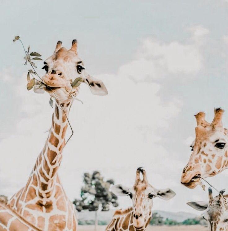 Giraffes are immense.
