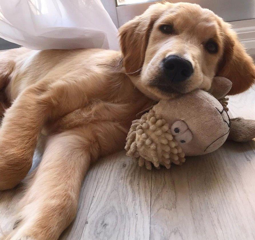 177 Best Golden Retriever Dog Names Golden Retriever Golden Retriever Names Dog Names